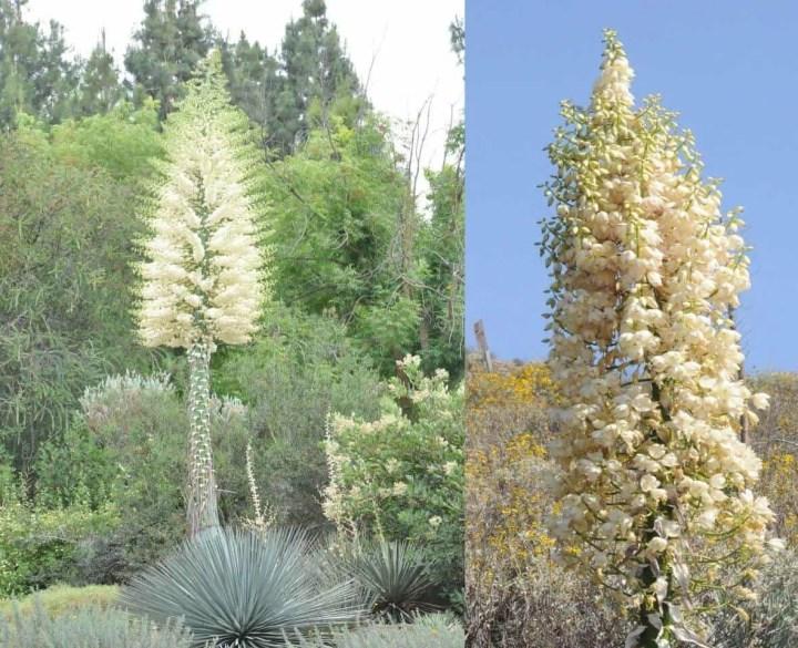 Prepper's Will - Arid Edibles - Yucca