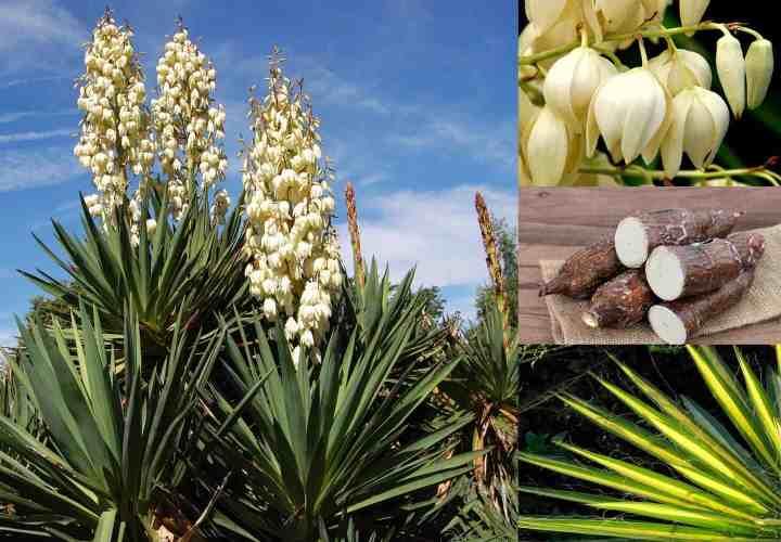 Prepper's Will - Soap Plants - Yucca
