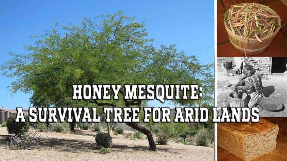 Honey Mesquite - A Survival Tree for Arid Lands