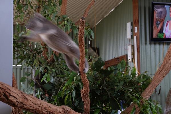 Koala Sydney Zoo