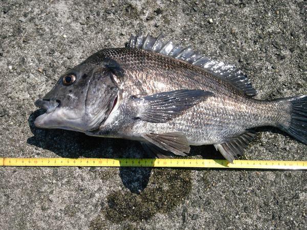 チヌ狙いの紀州釣り