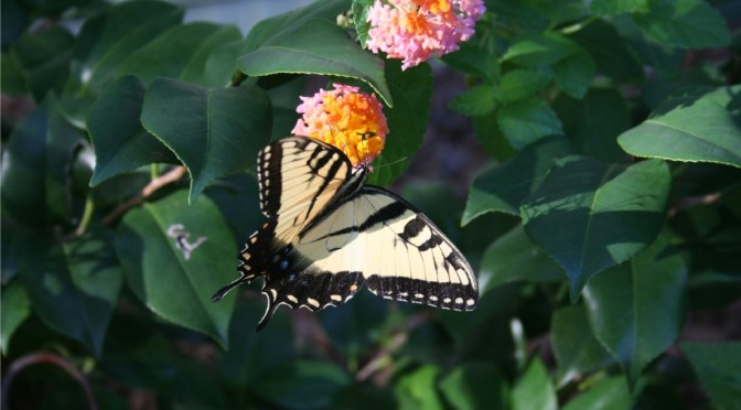 Butterfly on Lantana Flower