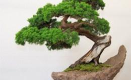022613 bonsai