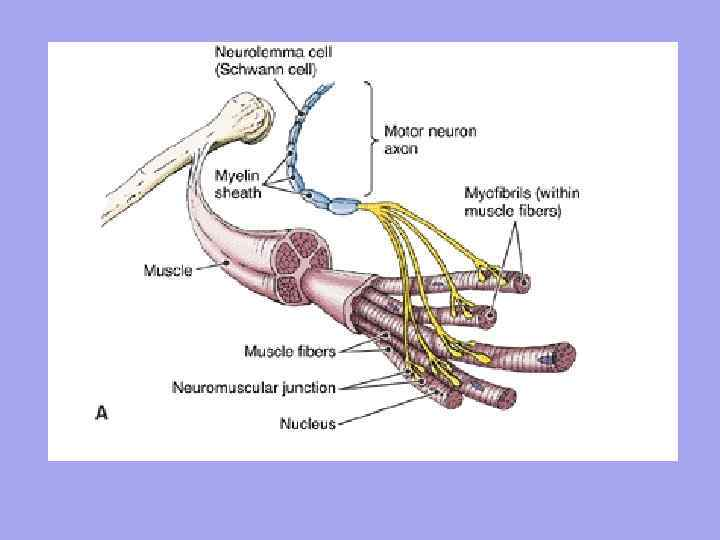 Csontváz szövet