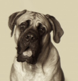 Duke may have looked like this modern English mastiff.