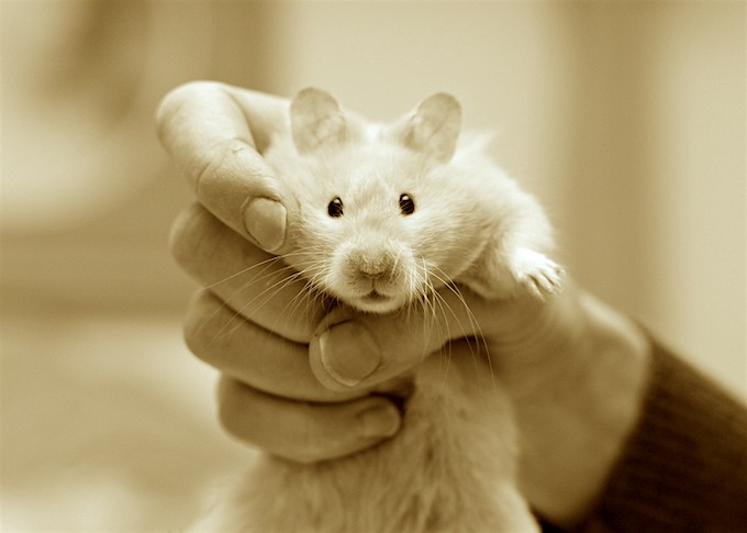 Aren't hamsters cute? We don't have a photo of the Kennedy hamsters, but maybe they looked like this little guy. (Photo: incendy)
