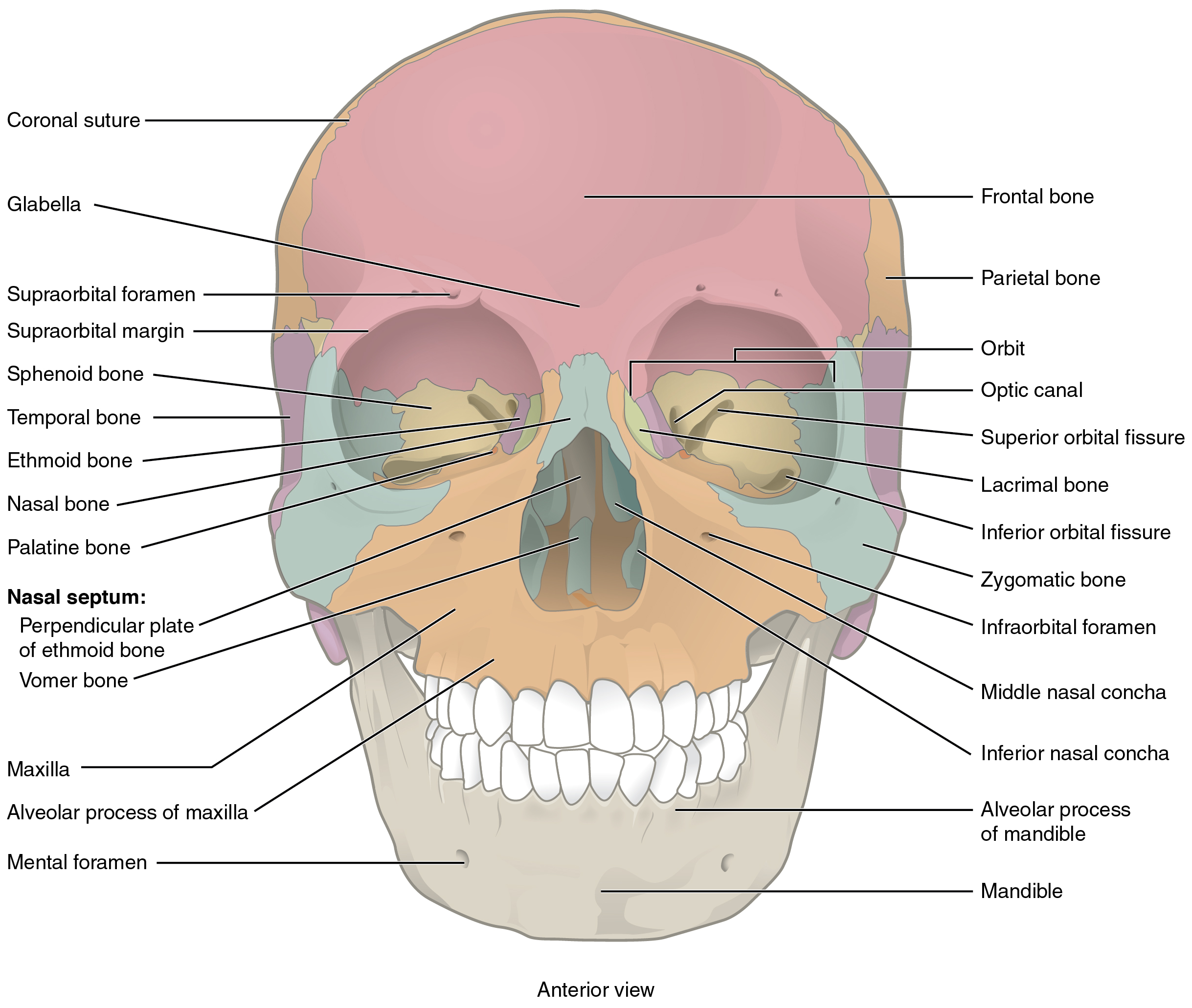 The Skull Anatomy Amp Physiology
