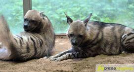 20150905_zoo_028-hyäne Bildergalerie | Ein Spaziergang durch den Zoo Augsburg - Vorführung eines Films über Namibia Bildergalerien Freizeit News Arno Wehrmann Namibia Vortrag Zoo Augsburg |Presse Augsburg