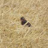 Jungvogel im Neststandort