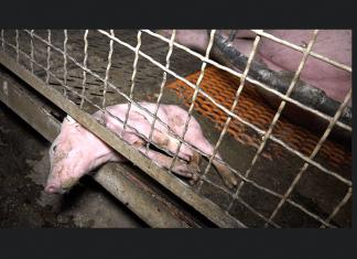 Foto: Ihttp://www.peta.de/schweinezucht-guenthersdorf#.WbtW-xdpyfY In einer Seitenwand eingeklemmtes mit dem Tod ringendes Ferkel.