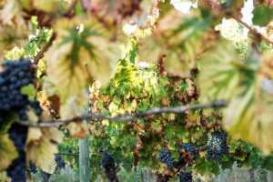 rota dos vinhos dao