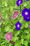 1597904 thum - 花の文化園~アサガオ展~