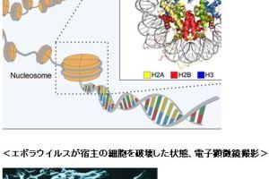 1018 05 1 - 沖縄科学技術大ら 世界初エボラウイルス構造解析 データオープンへ