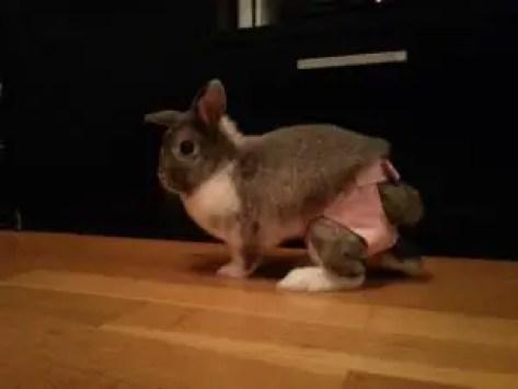 Clean Hardwood Floors Rabbit