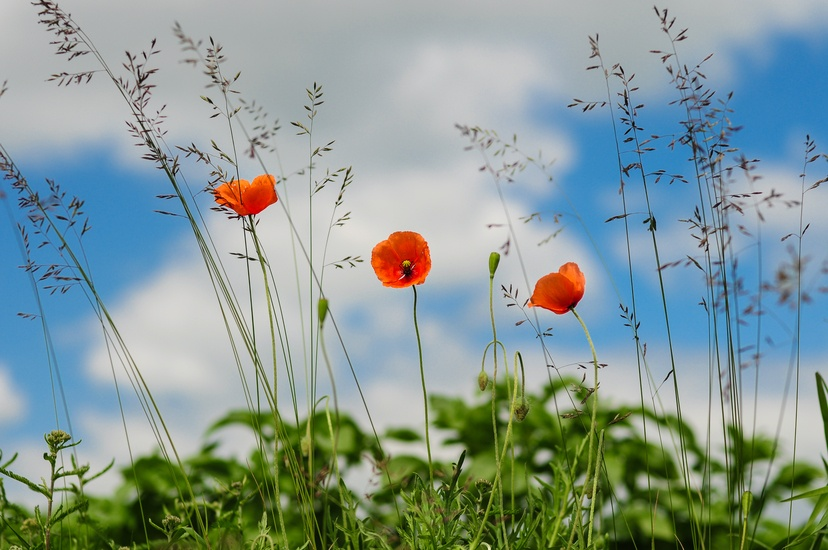 meadow-flower-poppy-wild-poppies-large