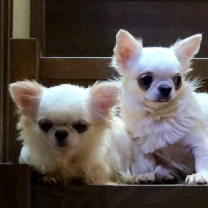 なんとなく️タイプの違う白系女子るみこ&あひこツーショット我が家のママ犬ちゃんまだお産してないけど(笑)画像下手だから動画の方がまんま写るよね