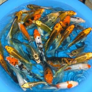 Pretty Koi Fish, LLC