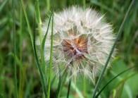 Dandelion Spores by Alan Richmond