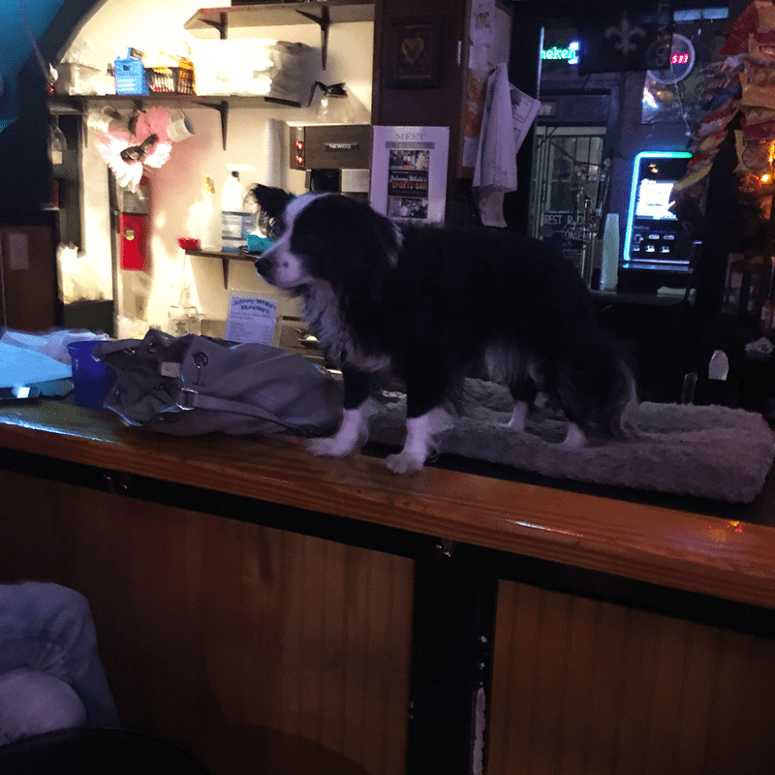 A small black and white dog named Janet sitting on a bar top at Johnny White's Hole in the Wall in New Orleans