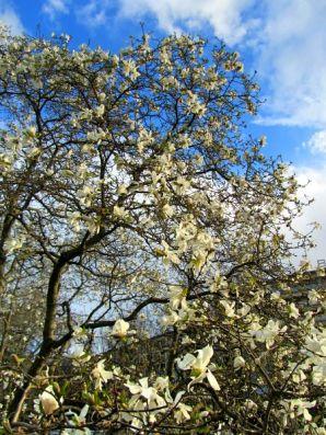 My favourite magnolias