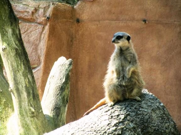 A meerkat guarding