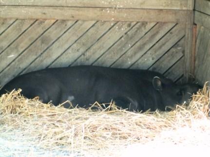 The tapir is sleeping