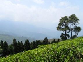 Happy Valley tea plantation
