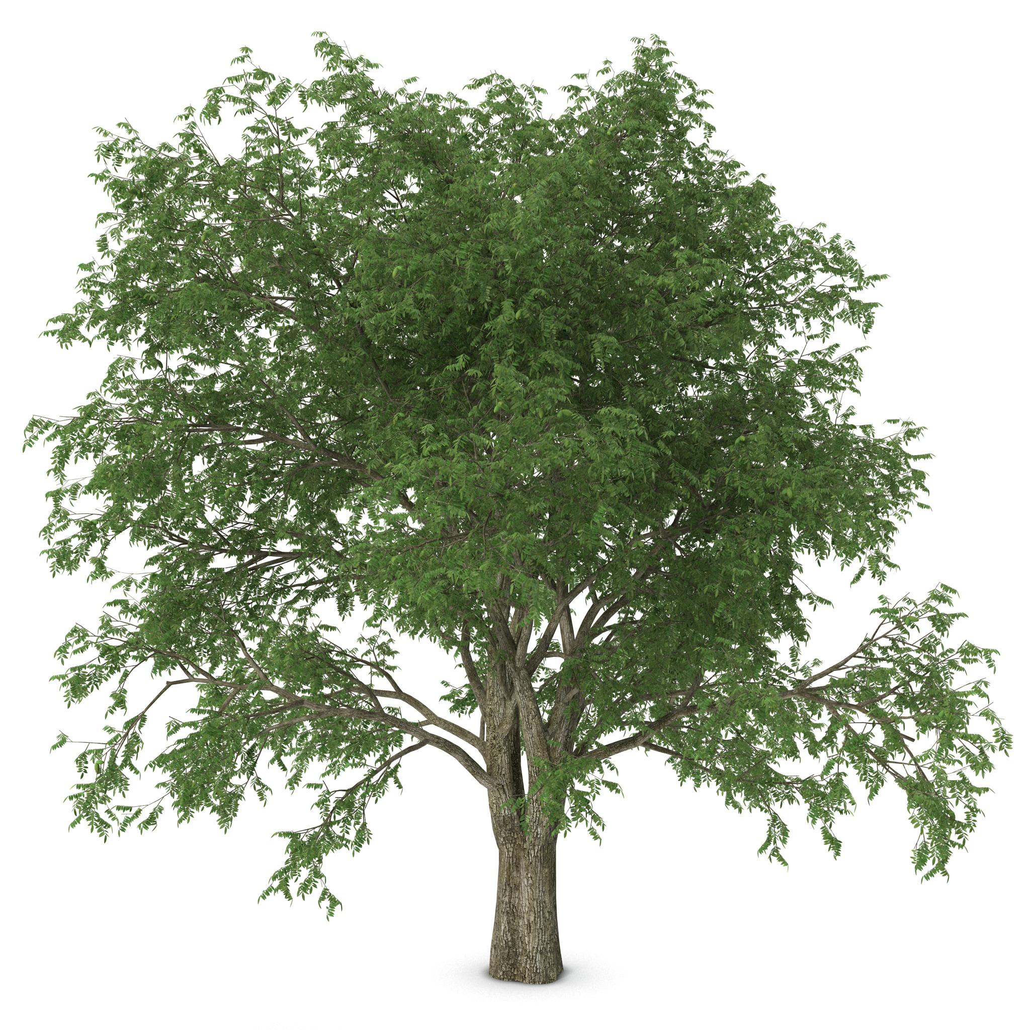 3d model pecan tree (2048 x 2048 Pixel)