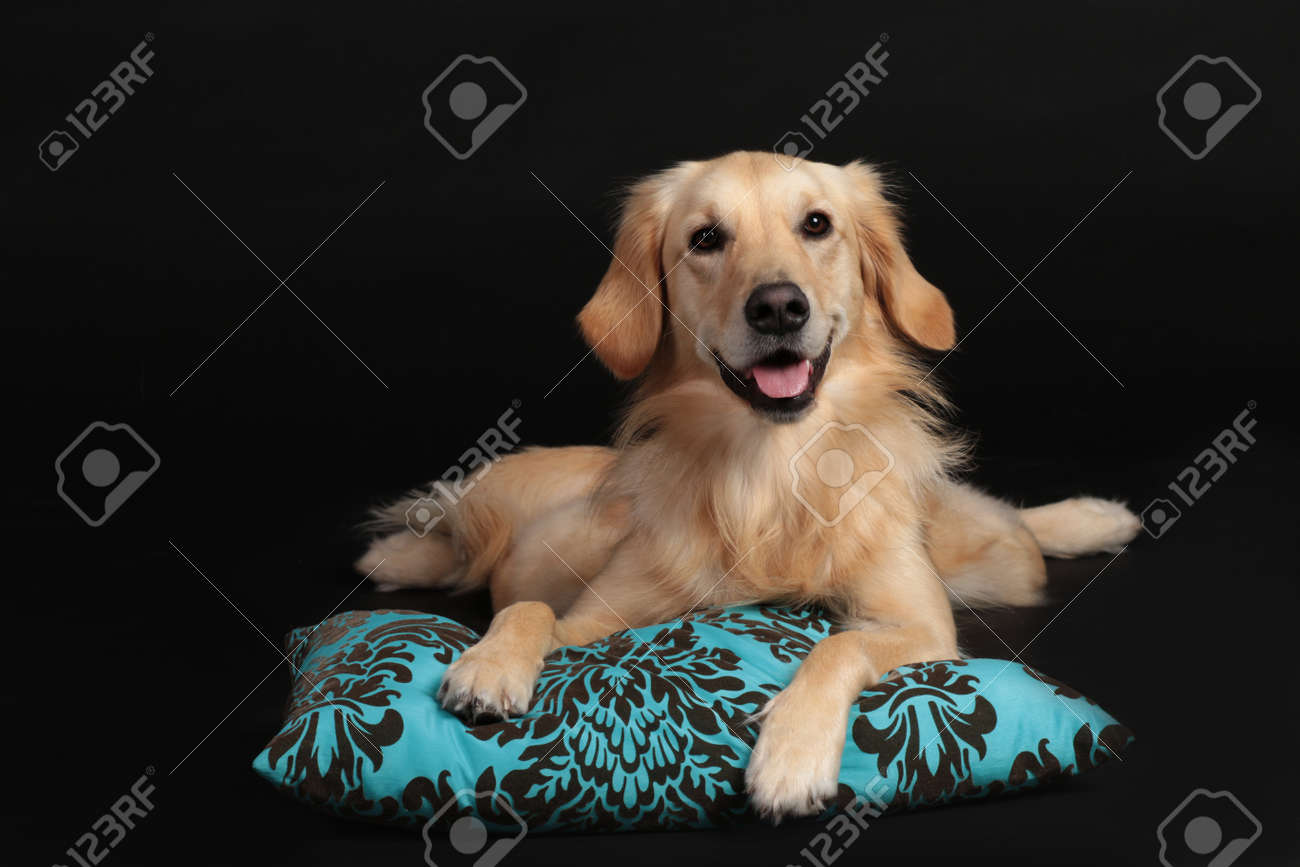 cute golden retriever lying on a light blue pillow looking at stock photo picture and royalty free image image 160417484