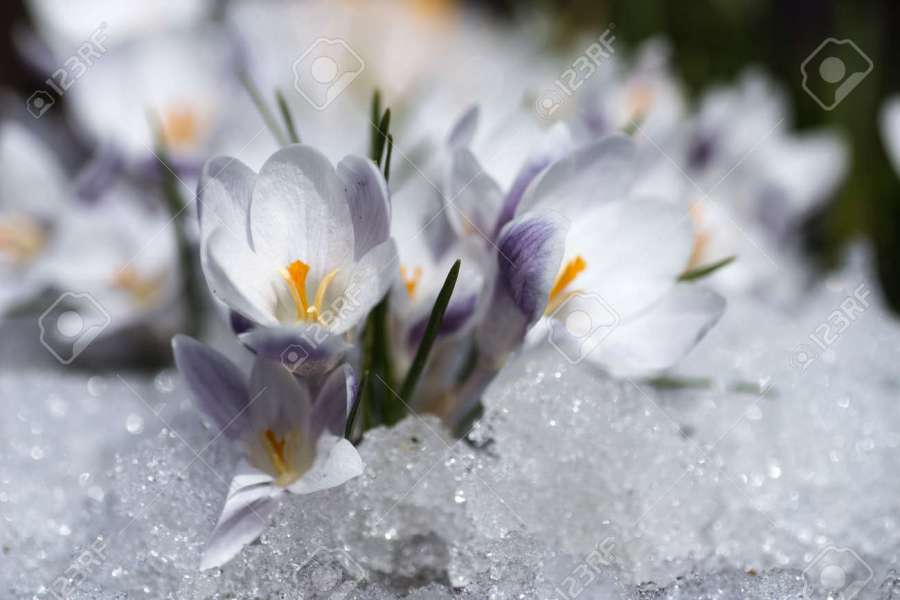 Crocus Flowers Blooming Through The Melting Snow In The Spring Stock     crocus flowers blooming through the melting snow in the spring Stock Photo    79116735