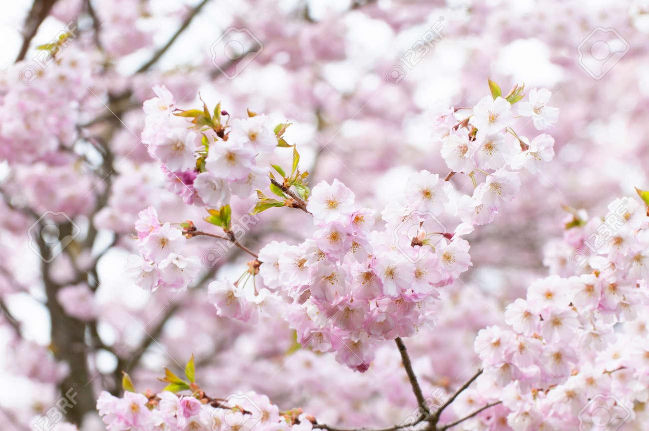 prunus serrulata ou cerisier japonais aussi appele cherry hill oriental cerise ou est asiatique cherry est une espece de cerise a natif du japon