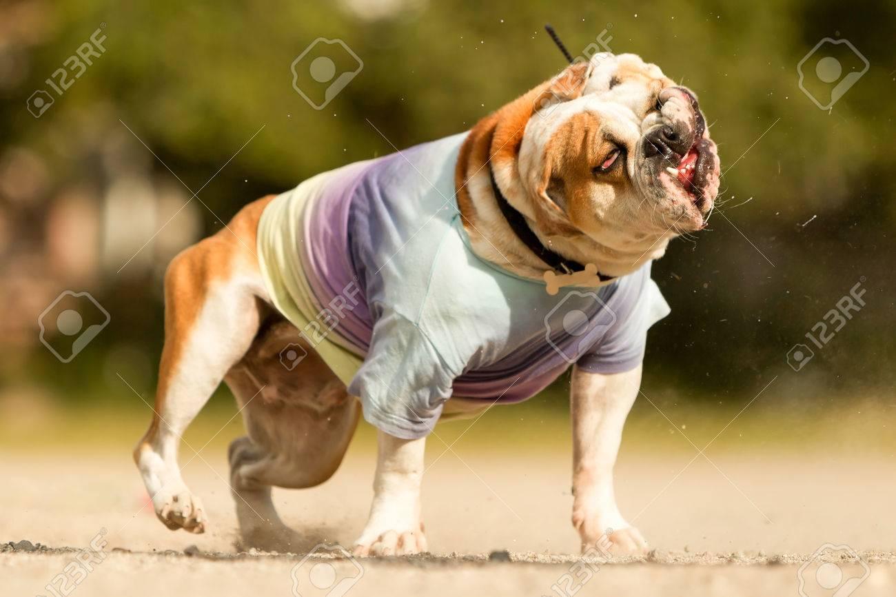 English Bulldog Dancing On Rap Music Stock Photo 46975400