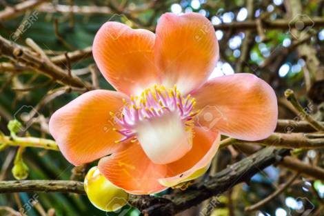 「sri lanka flowers photos」の画像検索結果