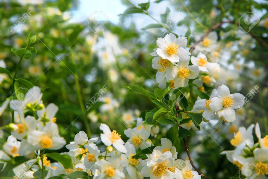 Beautiful White Spring Flowers Jasmine In The Morning Dew  A   Stock     Beautiful white spring flowers Jasmine in the morning dew  A large shrub in  a rural