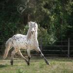 Knabstrup Appaloosa Horse Trotting In A Meadow Appaloosa Horse Stock Photo Picture And Royalty Free Image Image 57437023