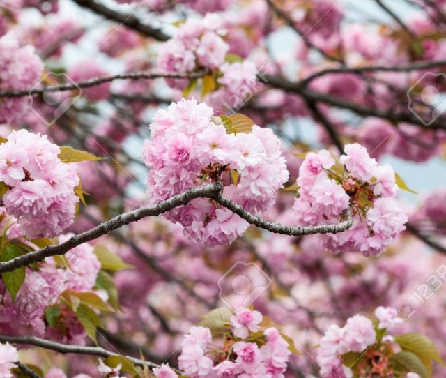 Large Pink Flowers Of Cherry Blossom Tree Close Up View Of Japanese Sakura Stock
