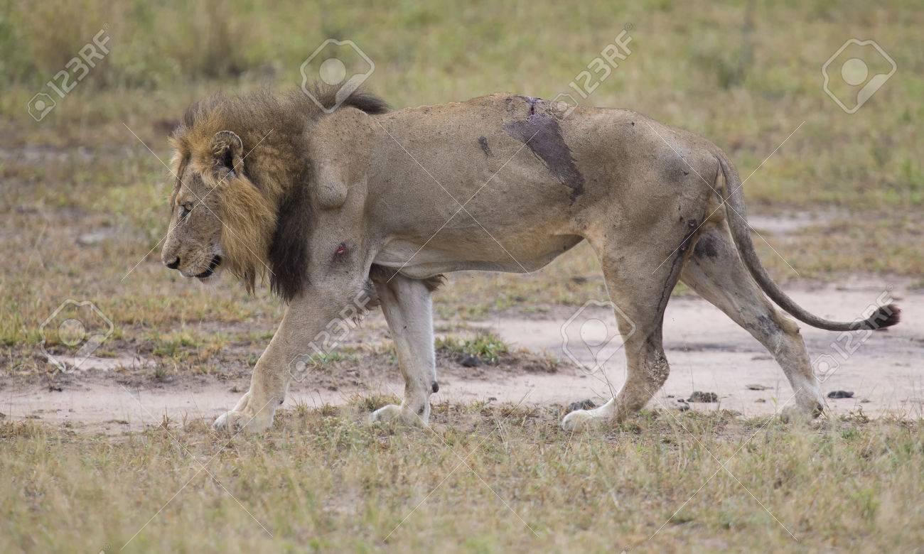 blesse vieux male lion couche pour se reposer dans l herbe et lecher ses blessures banque d images et photos libres de droits image 58508189