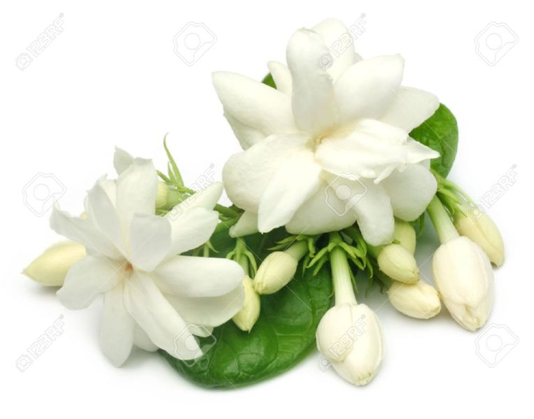 Jasmine Flower With Leaves Stock Photo  Picture And Royalty Free     Jasmine flower with leaves Stock Photo   20820890