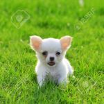 Chiwawa White Puppy On Grass Stock Photo Picture And Royalty Free Image Image 14398744