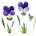 Set Of Watercolor Drawing Violet Flowers Buds And Leaves Pansies Stock Photo Picture And Royalty Free Image Image 59793814