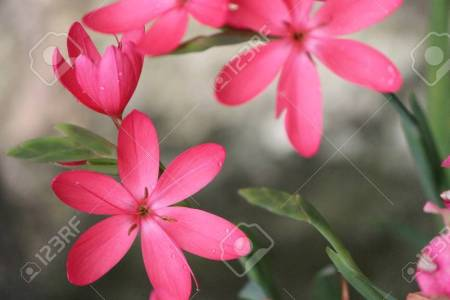 Beautiful flowers 2019 star shaped flowers beautiful flowers star shaped flowers various pictures of the most beautiful flowers can be found here find and download the prettiest flowers ornamental plants mightylinksfo