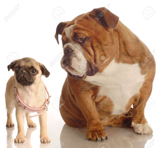 english bulldog annoyed with pug puppy that is wearing collar
