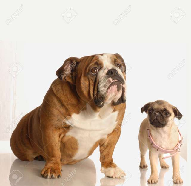 english bulldog looking up for help with pug puppy