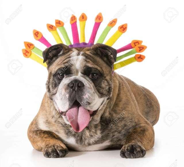 birthday dog - english bulldog wearing happy birthday hat - 2