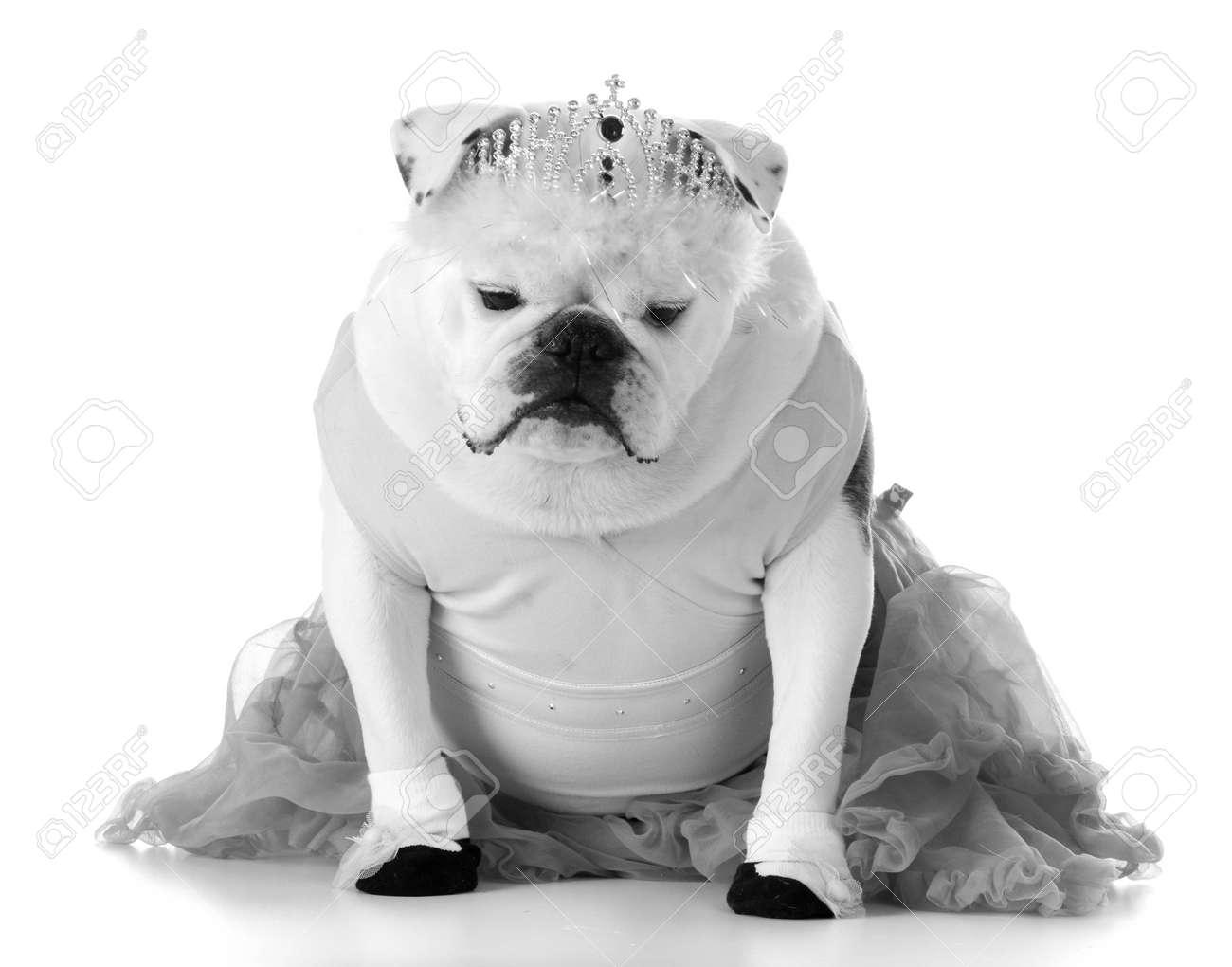 Dancing Dog English Bulldog Dressed Like Ballerina Stock Photo 35221800