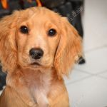 Golden English Working Cocker Spaniel Stock Photo Picture And Royalty Free Image Image 51333425