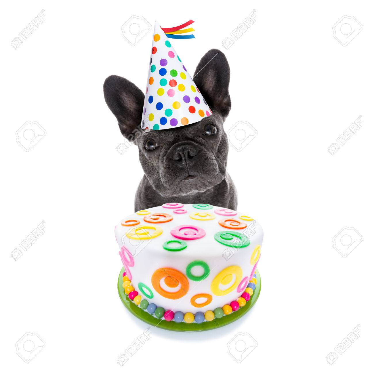 French Bulldog Dog Hungry For A Happy Birthday Cake Wearing Stock Photo Picture And Royalty Free Image Image 85922614