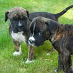 Two Brown Black Boxer Puppies Standing On The Grass Stock Photo Picture And Royalty Free Image Image 113917613