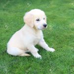 Golden Retriever Labrador Puppy On The Green Grass Stock Photo Picture And Royalty Free Image Image 7485042