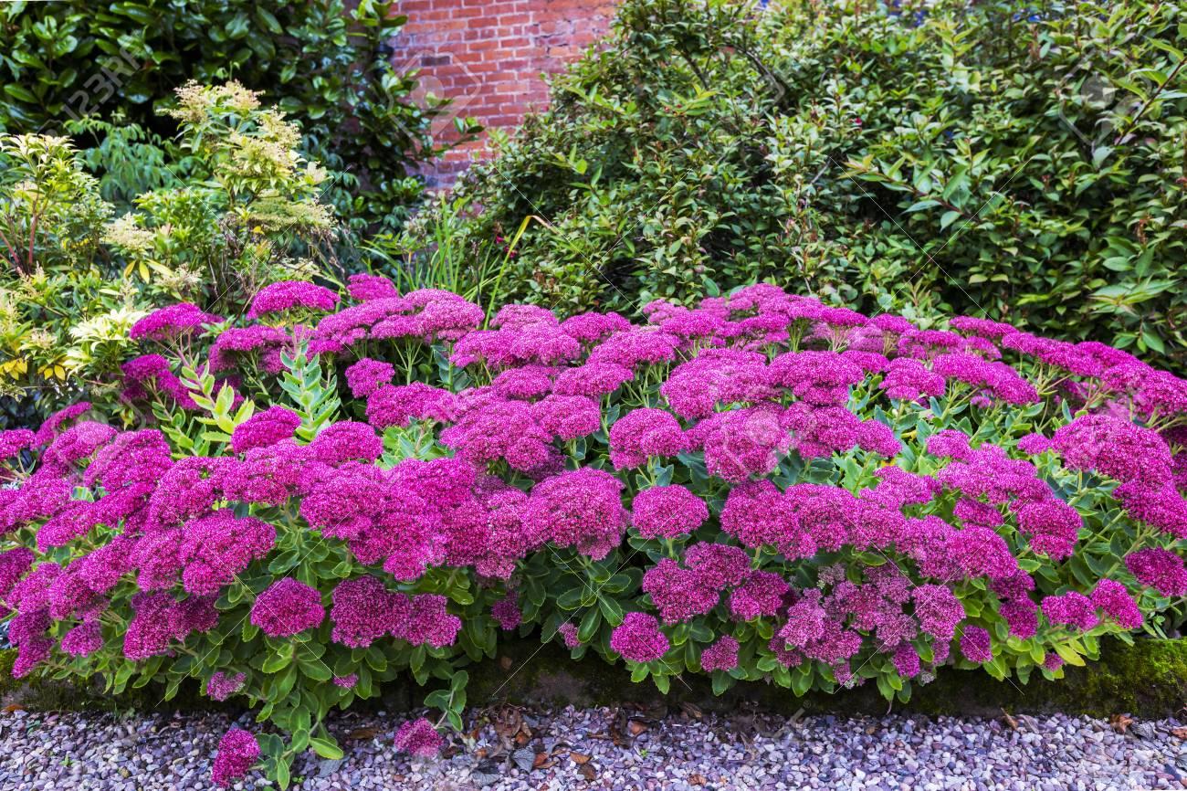 Purple Sedum Plante A Fleurs Vivaces Dans Une Bordure Herbacee Banque D Images Et Photos Libres De Droits Image 87988879